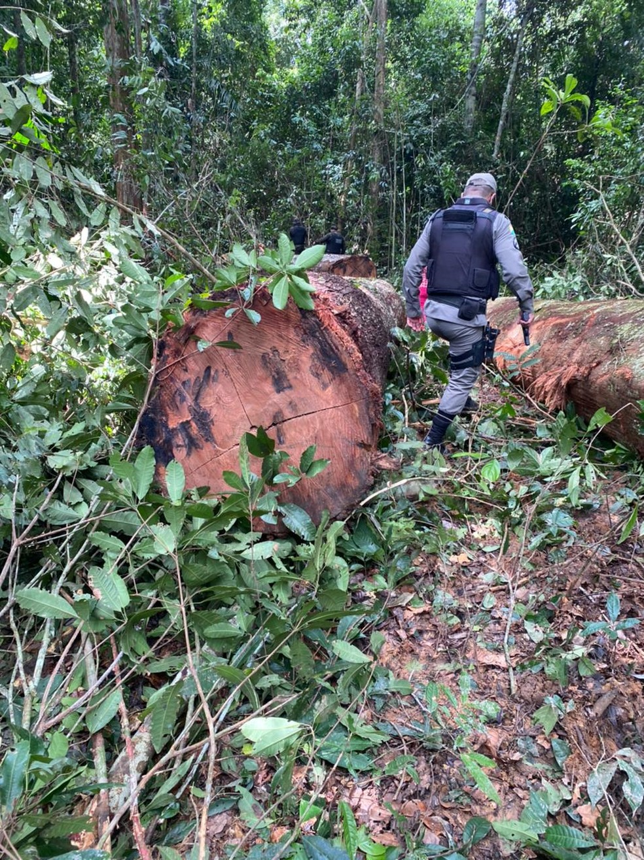 Four arrested for alleged illegal logging of 48 m3 of Tauari in Sena Madureira